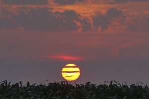 Yellow sunset over cornfield by Jock